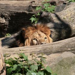 Verstopte leeuw in Artis