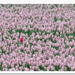 Bewerking: Tulpen