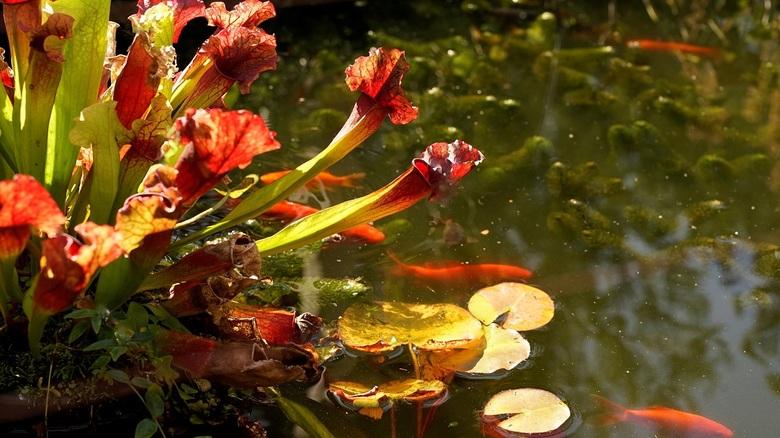 vleesetende plant.......... - mooie vleesetende plant in onze vijver ,<br /> tegenlicht opname...........