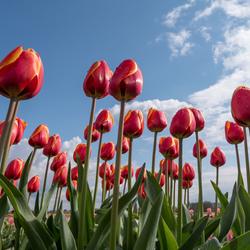 Tulpen uit ....