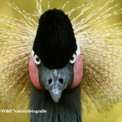 Soedanese zwarte kroonkraanvogel