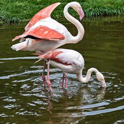 2 Flamingos_DSC9052 (20 x 28 cm)