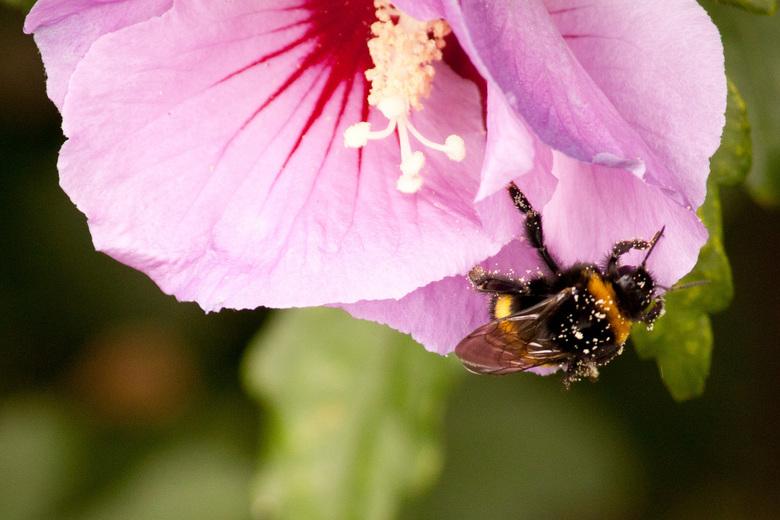 Hommel met stuifmeel - Hommel na een stuifmeel bad in een Hibiscus bloem