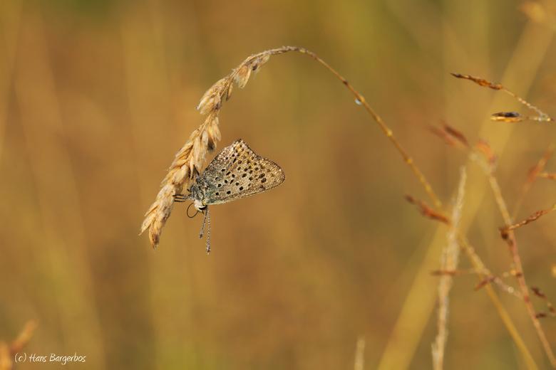 Bruine vuurvlinder - Nog een foto uit mijn archief van 2014. Een bruine vuurvlinder op de Delleboersterheide. Daar zal komend vlinderseizoen ook wel w