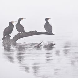 aalscholvers in mist