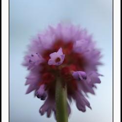 Primula orchidee