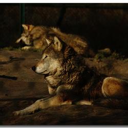 Wolven in Dierenrijk