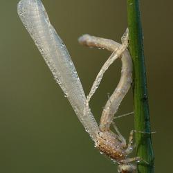 kou gevat