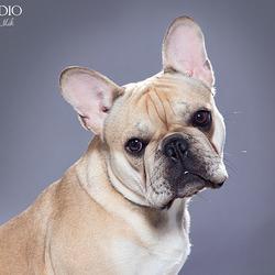 Franse Bulldog door Pet Studio | Hondenfotograaf Sanne Mik www.PetStudio.nl