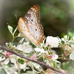 vlinder wit oranje