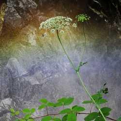 Fluitekruid bij een nevelregenboog van een waterval
