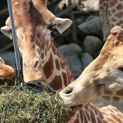 giraf in Dierenpark Amersfoort