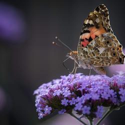 De Distelvlinder aan de nectar