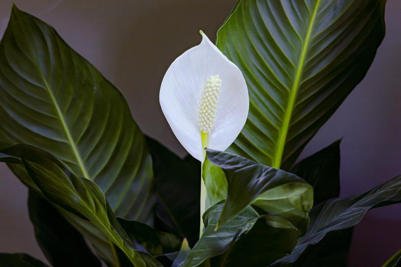 """Spathiphyllum of Lepelplant - Spathiphyllum of Lepelplant. Belichting gemaakt met zaklantaarn en met de sluiter op """"bulb"""" voor 2 minuten."""