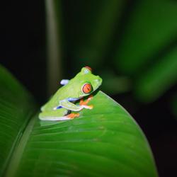 RoodoogBoomkikker in Costa Rica