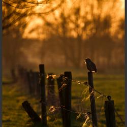 Steenuil in de ondergaande zon