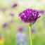 Purple sensation................Sierui (Allium)