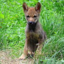 jonge wolf