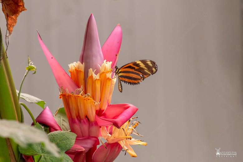 """Vlinders aan de Vliet - De  Tiger Longwing vlinder (Heliconius hecale) op de bloem van een bananenplant bij """"Vlinders aan de Vliet"""" in Leids"""