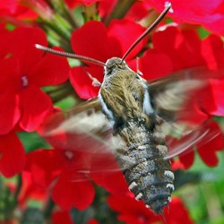 Koliebrievlinder