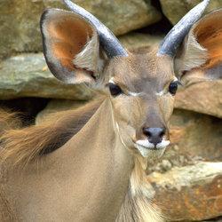 Big Kudu.