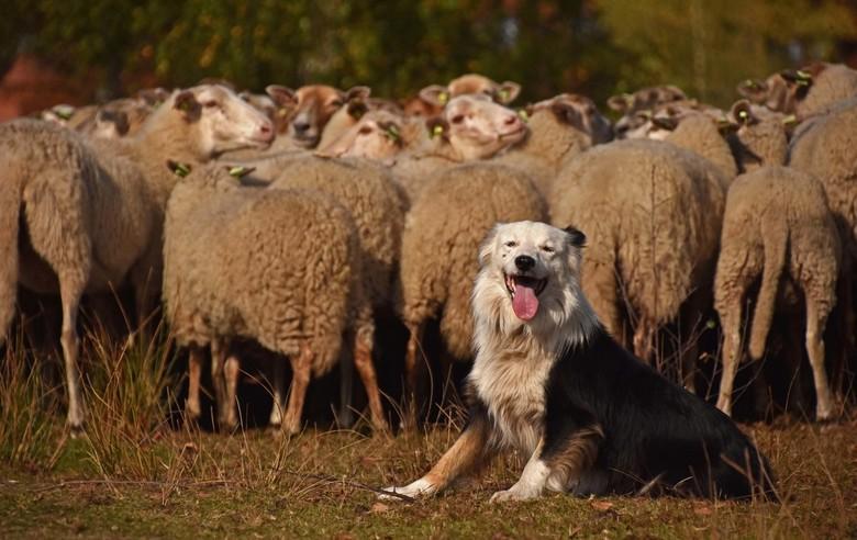 Schapendrijven - Een plaatje van twee weken geleden. De schapen waren weer een week in de boswachterij en hier worden ze verplaatst naar een ander dee