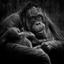 Trotse mama Orangutan