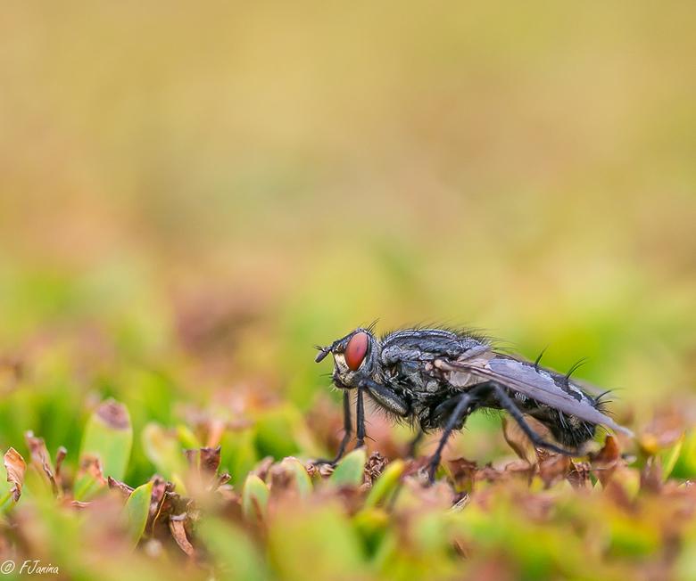 Vlieg in de heg.................bromvlieg - In huis wil ik ze niet tegenkomen maar op een foto zien ze er toch wel mooi uit.<br /> De scherpte en dof