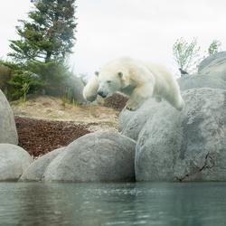 Polar bear dive....