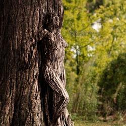 FoenVi-Fotografie-Ch-er-Sequoiadendron-Giganteum_PLG5107