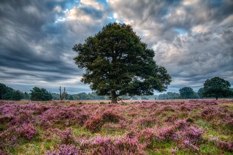 Heide in bloei - Deze foto is gemaakt in het Buurserzand tussen Enschede en Haaksbergen. De heide staat op dit moment mooi in bloei.