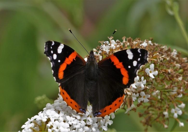 admiraal vlinder - Wat ben ik blij met de dit voorjaar geplante vlinderstruiken. Prachtige vlinders komen langs en geven me dus de kans om flink te &q