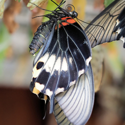 Papilio lowii in ruste