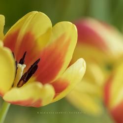 Tulpen (HDR opname)