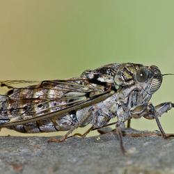 Cicade met bezoek