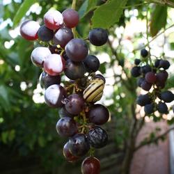 'druifje'