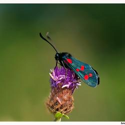 st. Jans-vlinder