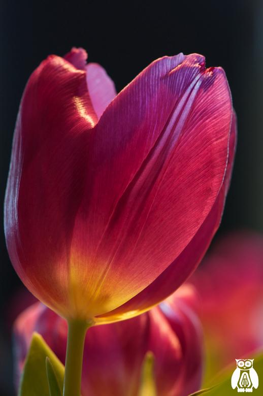 Still a beautiful tulip - De tweede foto van de roze/paarse tulp. Een veel minder abstract beeld. Maar deze twee foto's vond ik de mooiste uit mi