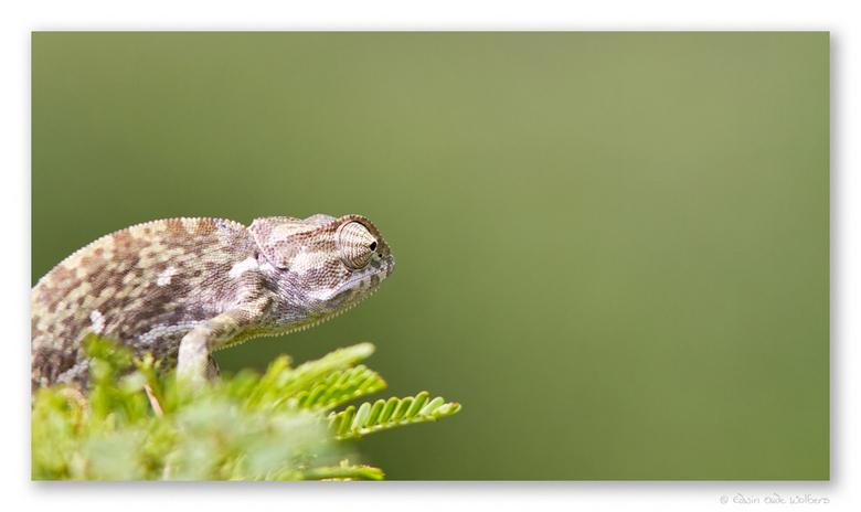 Staring into the Green - Kameleon in Pilanesberg NP, Zuid Afrika