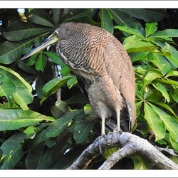 Bare Throated Tiger Heron 2