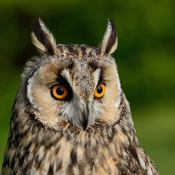 Europese oehoes (Bubo bubo)