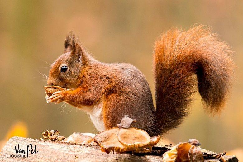 De Eekhoorn - Een eekhoorn voor het eerst voor de lens. Vanuit een boshut gemaakt. In clinge.