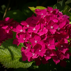 Alweer een hortensia