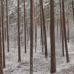 dennen op de Kempense Heuvelrug in de winter