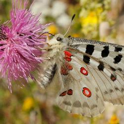 Apollo vlinder