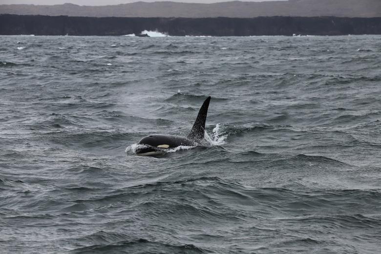 Orka IJsland  -