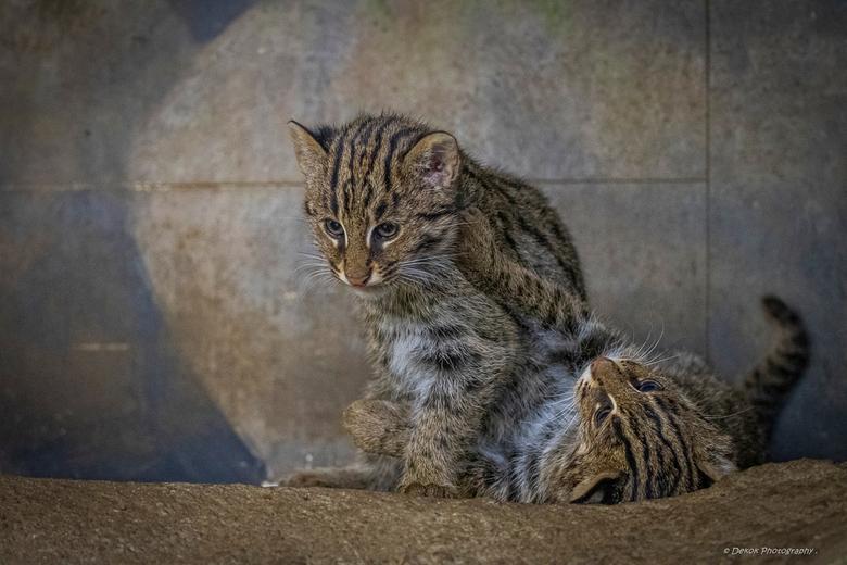 Vissende kittens . - Foto gemaakt in Diergaarde Blijdorp ..<br /> Nabewerkt met LR CC ..