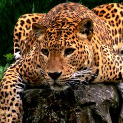 Bewerking: Luipaard restyled
