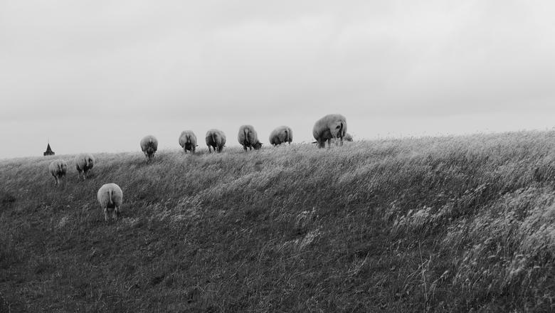 Grazende Schapen - Waarde - Schapen grazen op de dijk nabij Waarde, Zeeland.