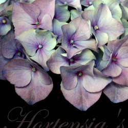 Hortensia *